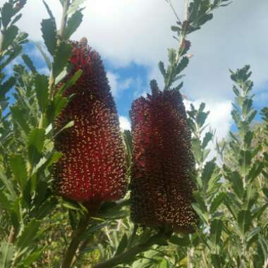 Cut Leaf Banksia