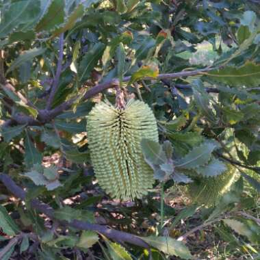 Yellow lantern banksia