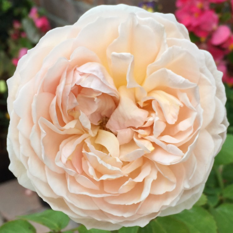 Plant image Rosa 'Ausbrass' syn. Rosa 'The Lady Gardener'