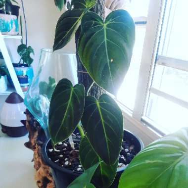 Black Gold Philodendron