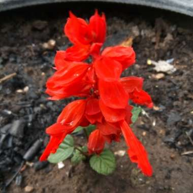 Salvia 'Fireball'