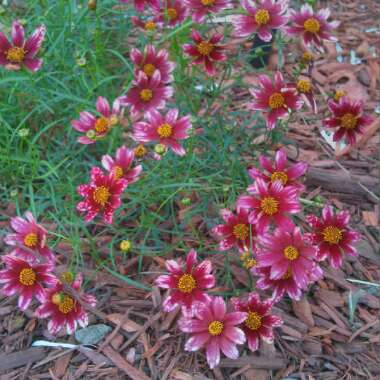 Threadleaf Coreopsis  'Cruizin' Main Street'