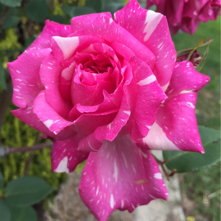 Plant image Rosa 'Candy Stripe