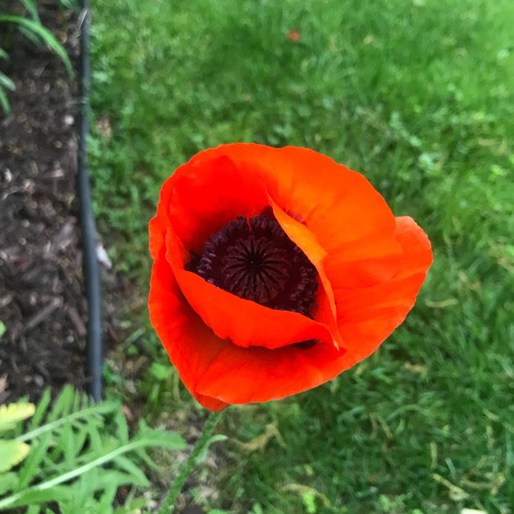 Plant image Papaver orientale 'Beauty of Livermere'