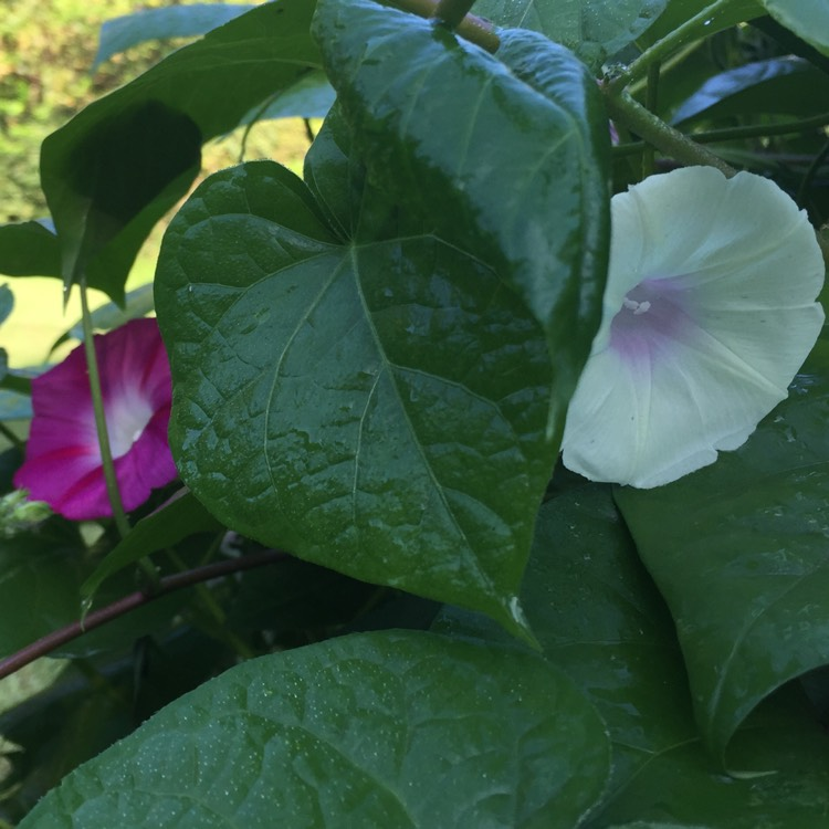 Plant image Ipomoea