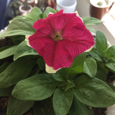 Petunia 'Can Can Picotee Velvet'