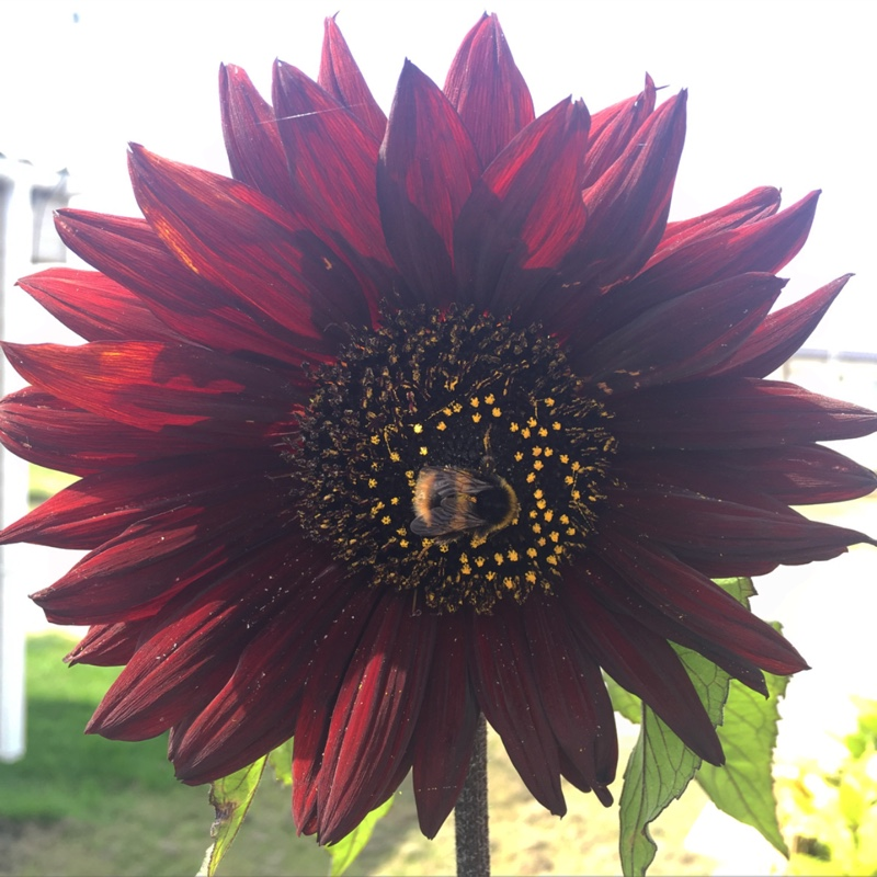 Sunflower 'Red Sun'