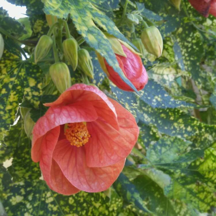 Plant image Abutilon pictum 'Thompsonii'