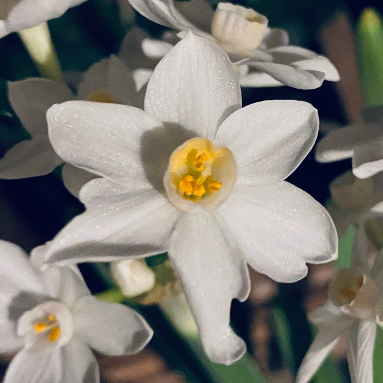 Plant image Narcissus papyraceus syn. Narcissus 'Paper White'