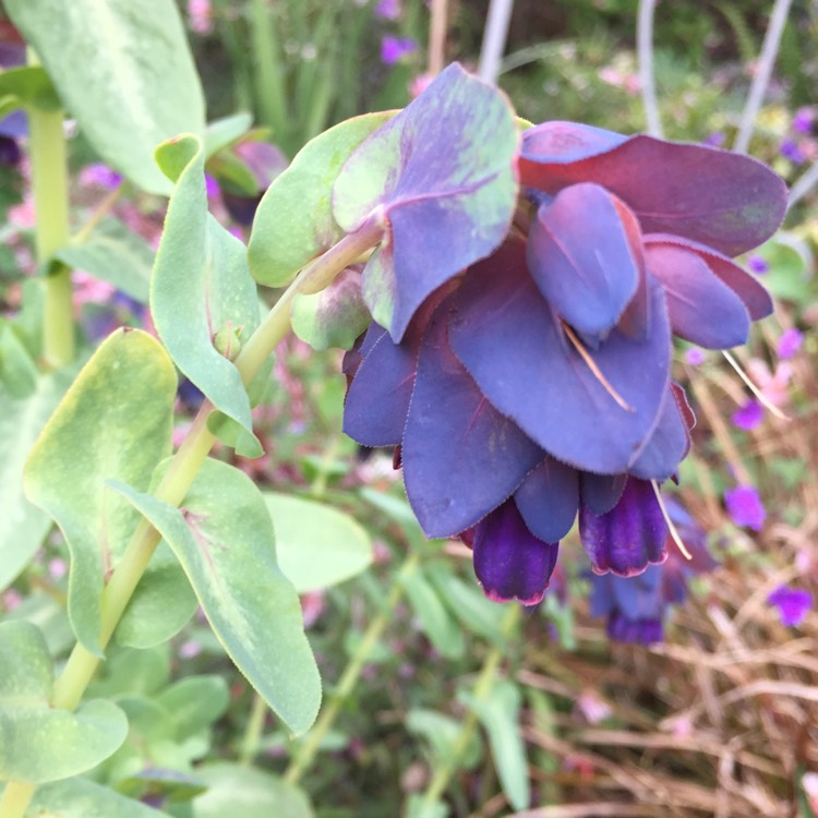 Plant image Cerinthe major 'Purpurescens'