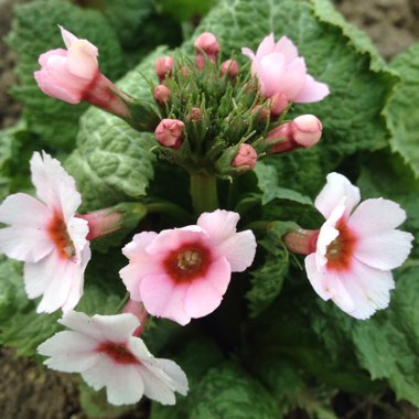 Japanese Primula 'Apple Blossom'