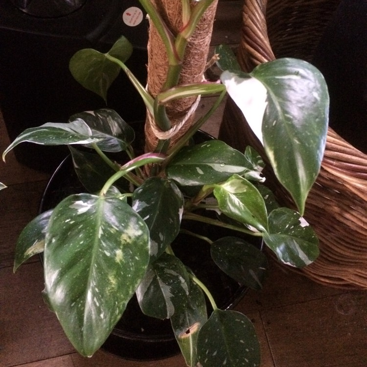 Plant image Philodendron 'White Princess'