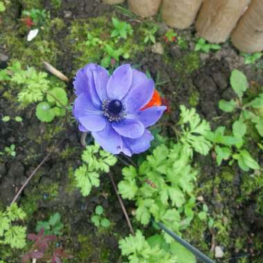 Poppy Flowered Anemone