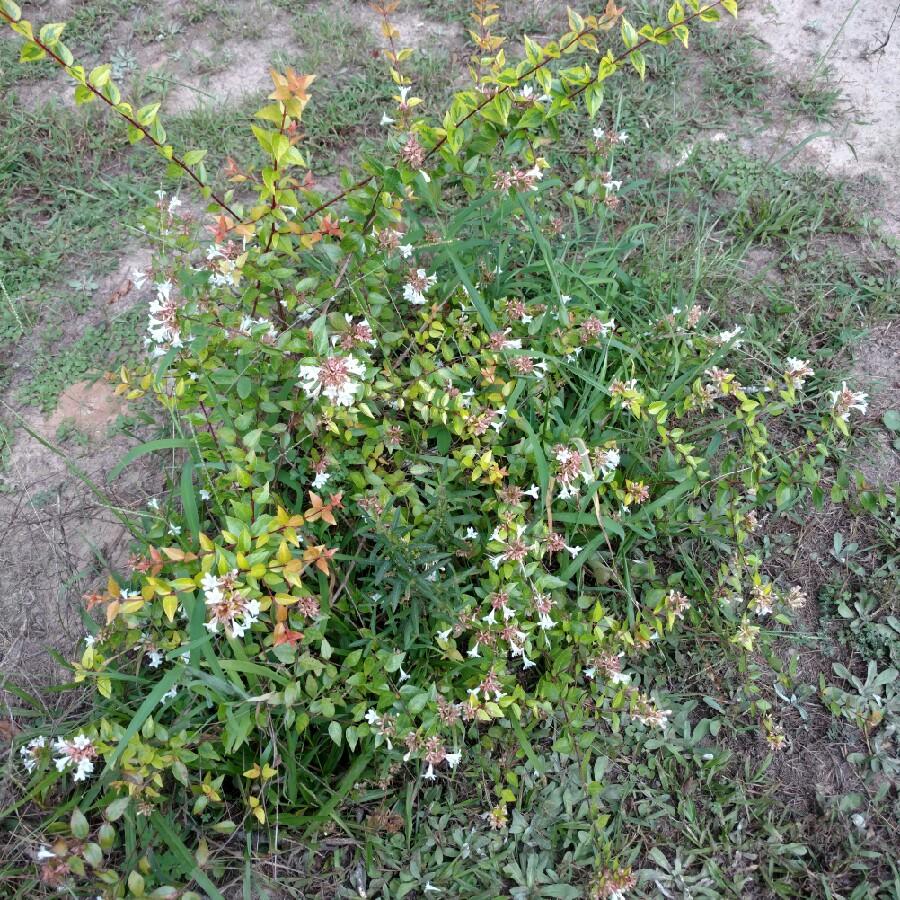 Abelia X Grandiflora Francis Mason Abelia Francis Mason