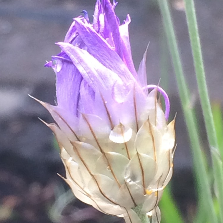 Plant image Catananche caerulea 'Major'