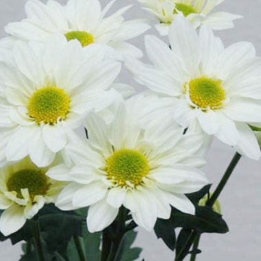 Chrysanthemum (unknown variety)