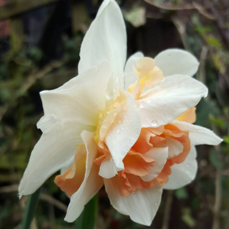 Plant image Narcissus 'Replete'