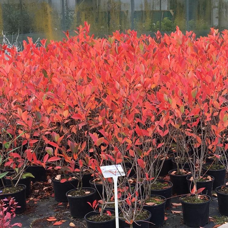 Aronia X Prunifolia 'Brilliant' Syn.Aronia Arbutifolia