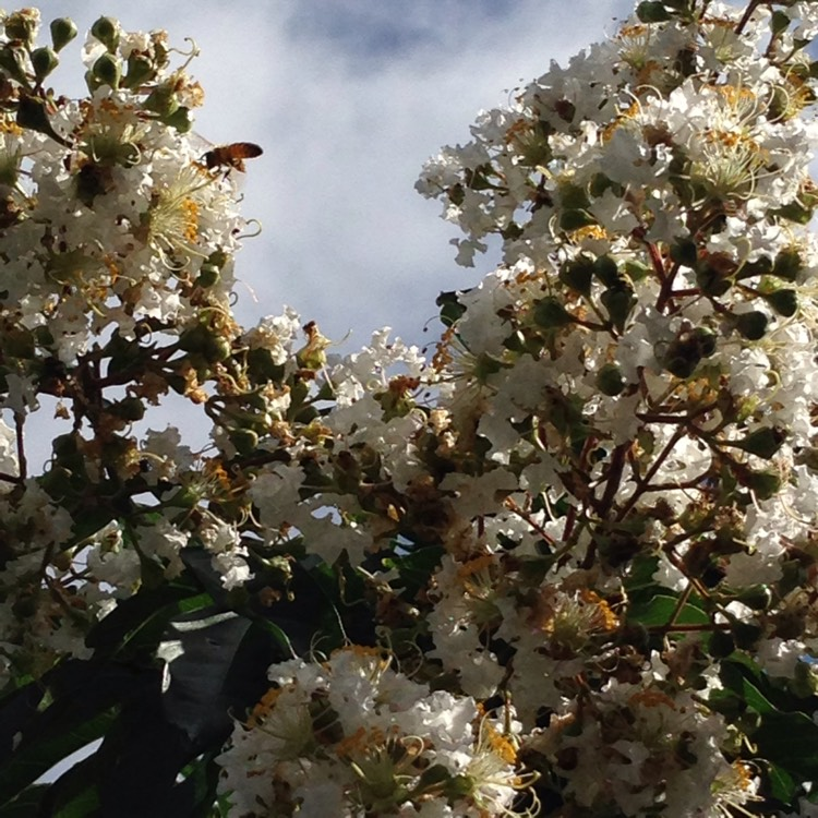 Plant image Lagerstroemia 'Early Bird White'