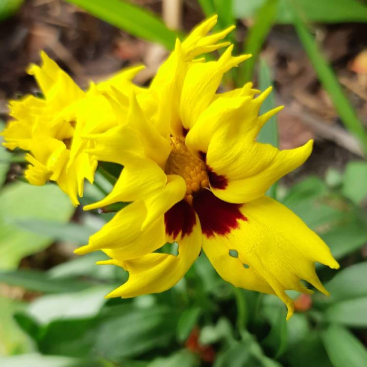 Plant image Coreopsis grandiflora 'Early Sunrise'