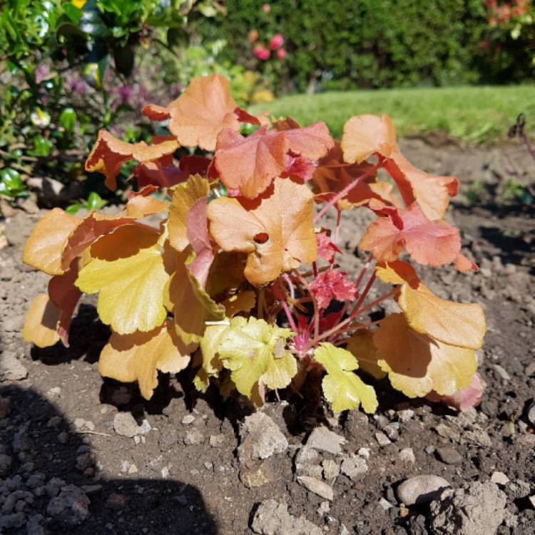 Plant image Heuchera 'Cherry Cola'