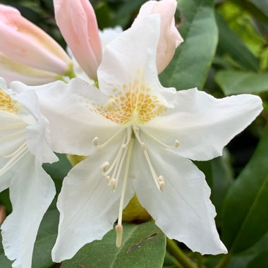 Rhododendron 'Dairy Maid'