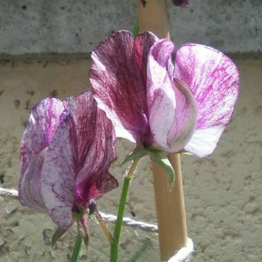 Sweet Pea 'Winter Sunshine' (Opal)