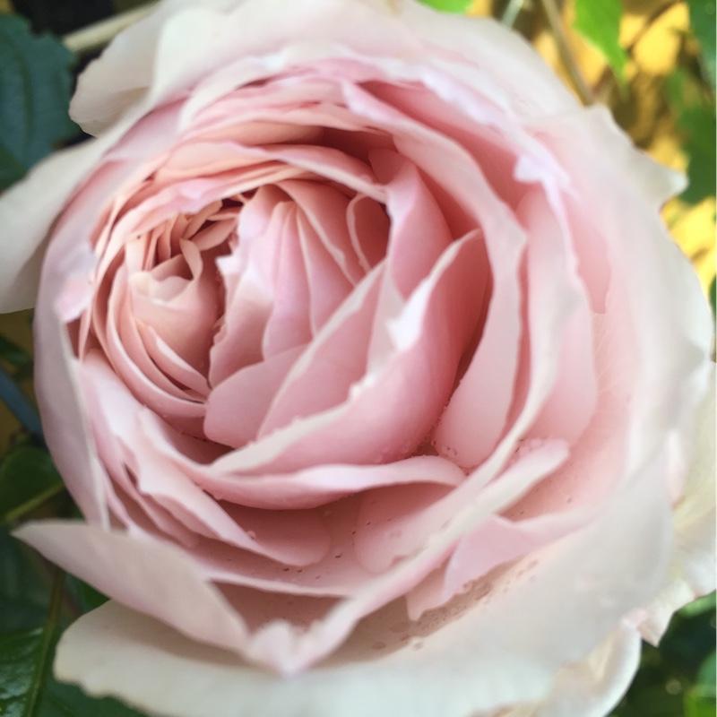Rosa 39 The Generous Gardener 39 Rose 39 The Generous Gardener