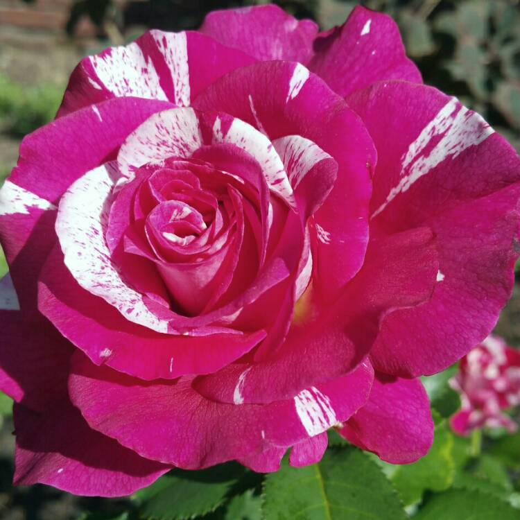 Plant image Rosa 'Rock 'n Roll'