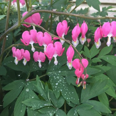 Bleeding Heart 'King of Hearts'