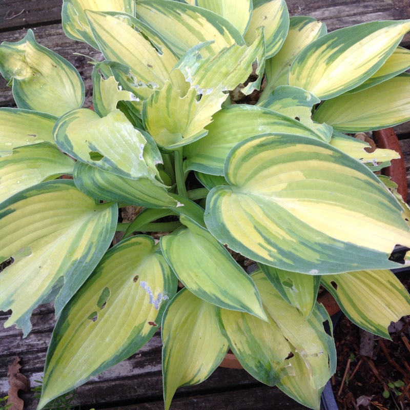 Plant image Hosta (Tardiana Group) 'June'