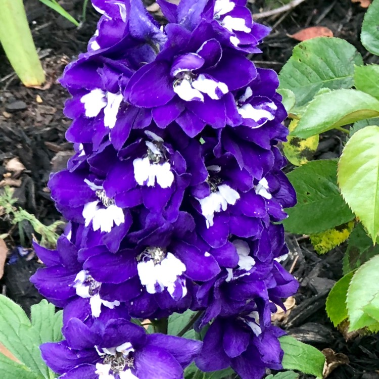 Plant image Delphinium 'purple passion'