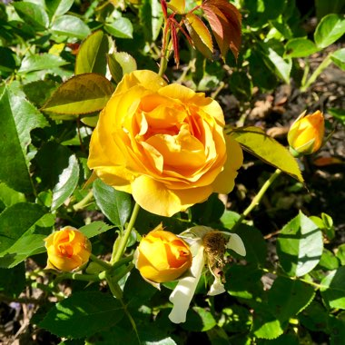 Rose 'Julia Child'