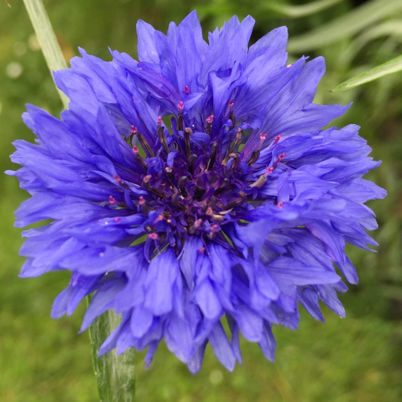 Plant Centaurea (Unknown Variety)