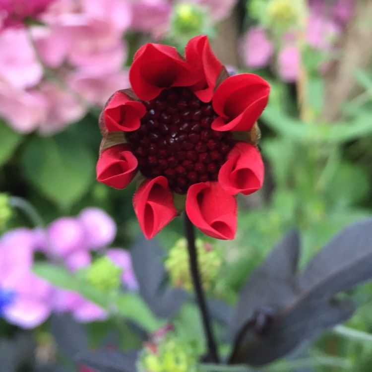 Plant image Dahlia 'Bishop of Llandaff'