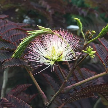 Plant Albizia julibrissin 'Summer Chocolate'