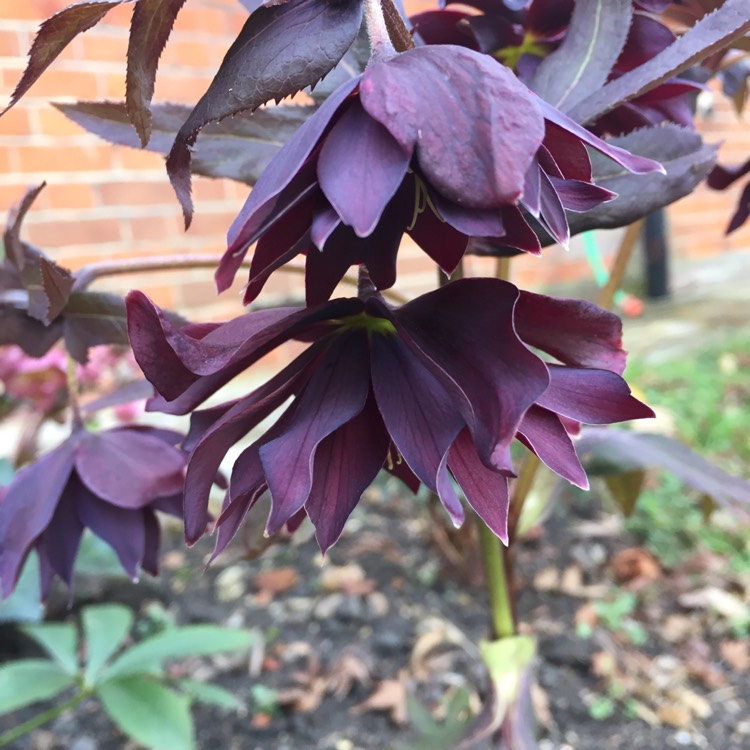 Plant image Helleborus x hybridus 'Harvington Double Purple Cascade'
