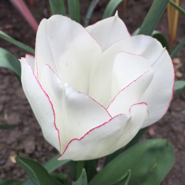 Tulipa 'Diamond Jubilee'