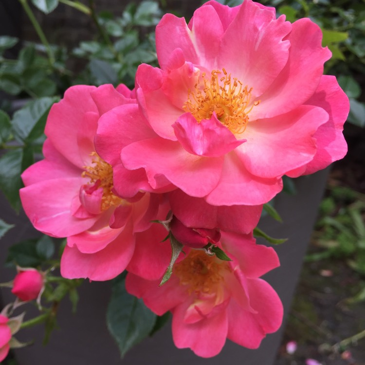 Plant image Rosa 'Diclulu' syn. Rosa 'Gentle Touch'
