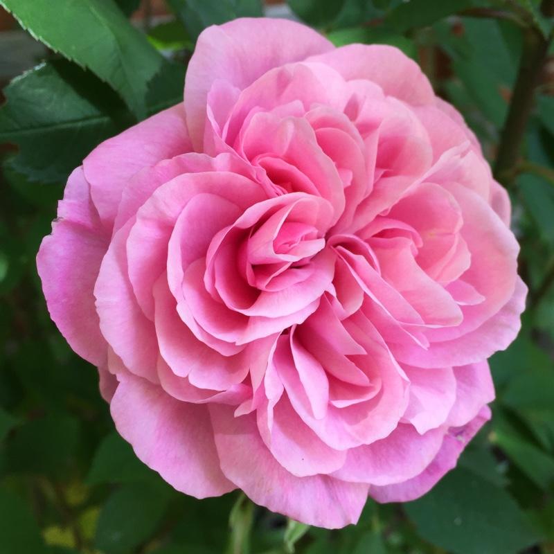 rosa 39 gertrude jekyll 39 39 ausbord 39 rose 39 gertrude jekyll 39 uploaded by hlt. Black Bedroom Furniture Sets. Home Design Ideas