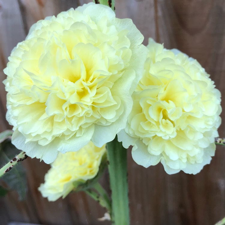 Plant image Alcea Rosea 'Chater's Double Yellow'