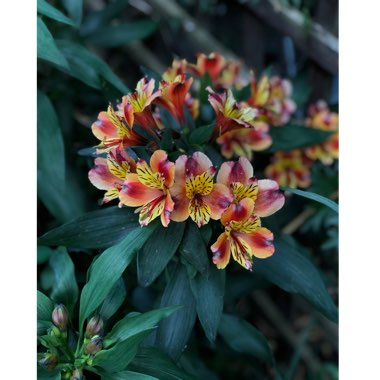 Peruvian Lily 'Indian Summer'