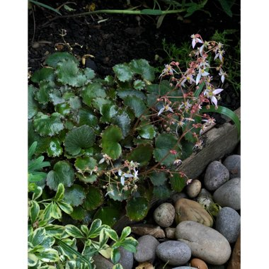 Strawberry Saxifrage
