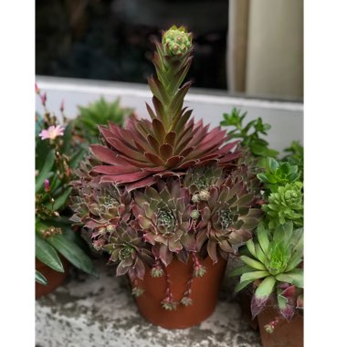 Sempervivum Deep Fire