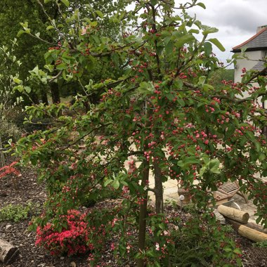 Crab Apple Tree (Unknown Variety)