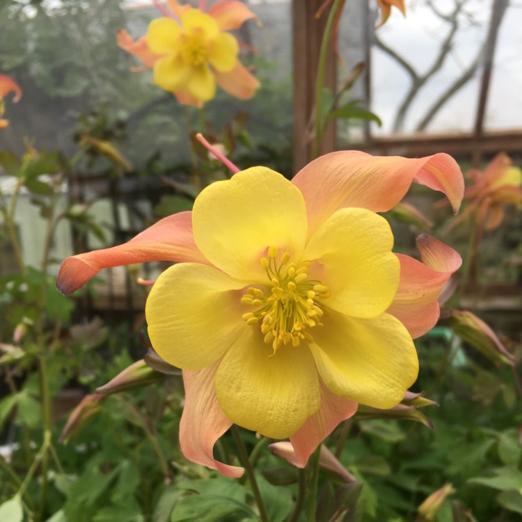 Plant image Aquilegia 'Swan Pink and Yellow' (Swan Series)