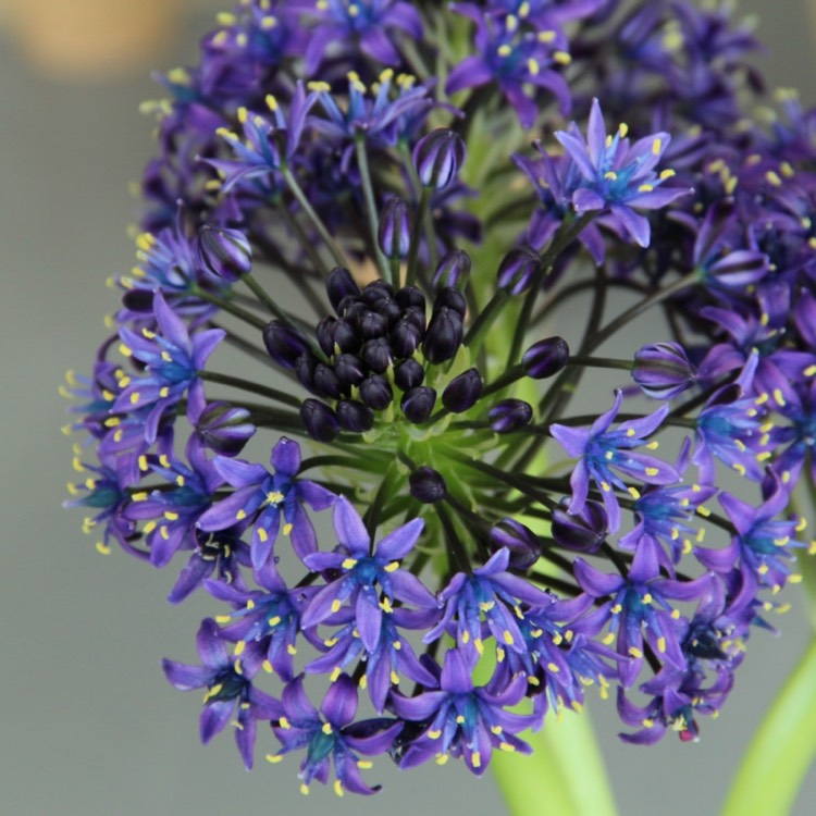 Plant image Scilla peruviana 'Sapphire Blue' (Carribean Jewels Series)