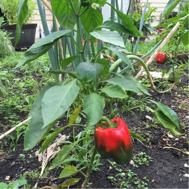 Sweet Pepper 'Californian Wonder'