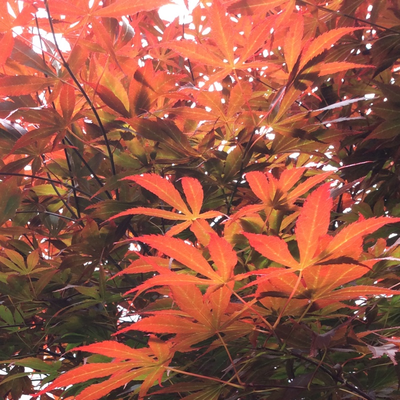 Plant Acer Palmatum 'Orange Dream'