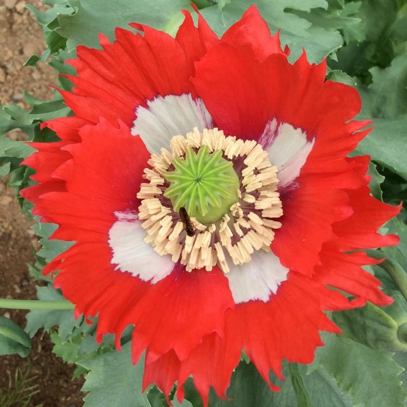 Papaver somniferum victoria cross opium poppy victoria cross papaver somniferum victoria cross opium poppy victoria cross uploaded by kathy mightylinksfo